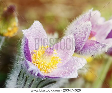 Macro shot of dewy purple pulsatilla slavica in the spring meadow. Close up natural scene. Beauty photo filter.