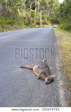 dead wallaby roadkill on roadside after being struck by traffic