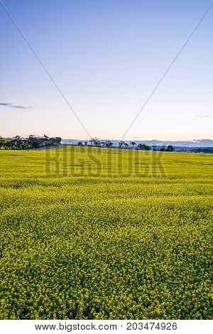 Canola fields during sunset near York, Western Australia. York is about 1 hour drive east of Perth, Australia.