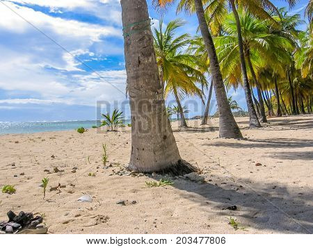 Tropical coconut palms in Anse Champagne beach, Saint Francois in Guadeloupe, Antilles, Caribbean.