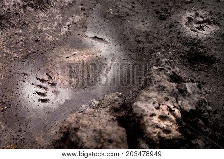 Wild animal footprint tread on soft soil ground