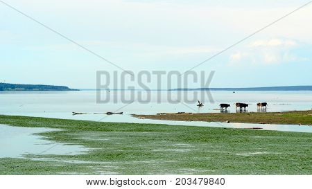 The Russian heartland. Cows in the distance stand in the river at sunset and drink water next to a swamp in the village.