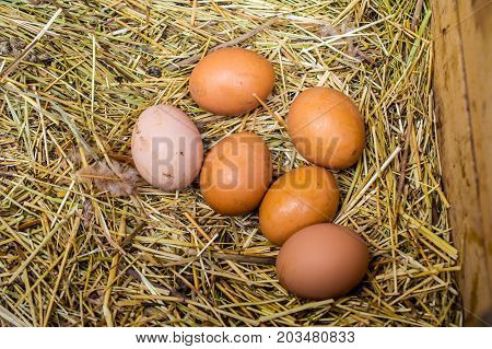 fresh chicken eggs with nest a pile of brown eggs in a nest