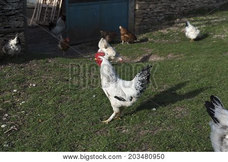 Rooster Hens Yard Countryside Free Grass Birds