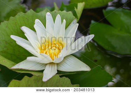 white lotus with the leaf under sunlight