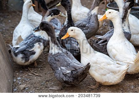Photography of a group of white domestic ducks on a farm