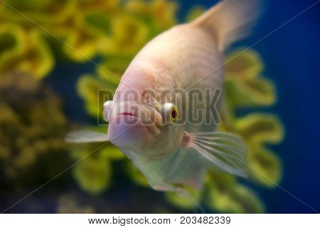 Closeup image of Gourami or Trichogaster trichopterus in fishtank