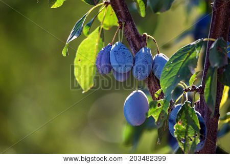 Close up branch of a wild plum tree with fruits on it