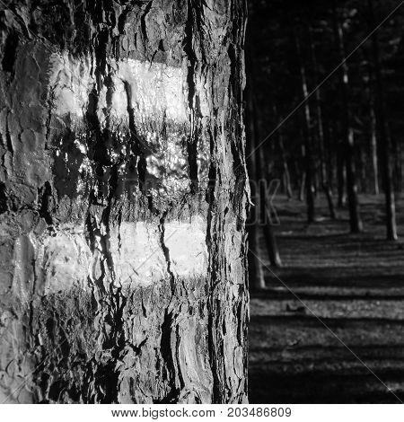 Tourist Marking On Tree In Pine Forest  In Macha's Land During Summer Holidays In Czech Republic