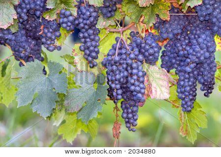 Uva blu su vitigni
