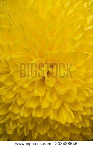 Close up of yellow aster flower : aster with yellow petals and yellow heart for background or texture