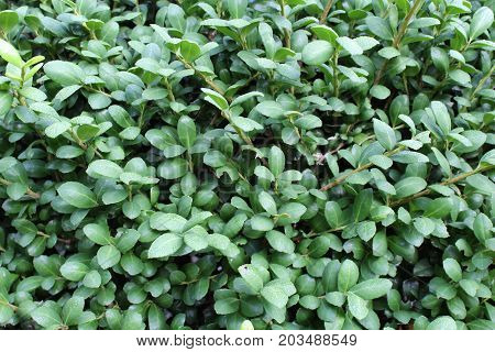 Untrimmed green boxwood leaves background, horizontal aspect