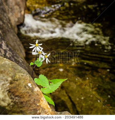 White pedal wild flower growing out of a natual rock wall. A small rapid from a stream is in the back ground