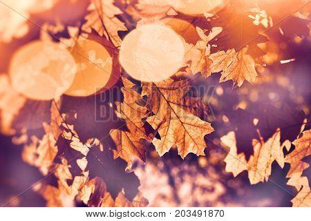Autumn leaves on tree lit by sun rays - beautiful nature in autumn