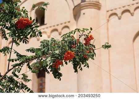 Rowan tree on the background of the orthodox church. Kiev Ukraine