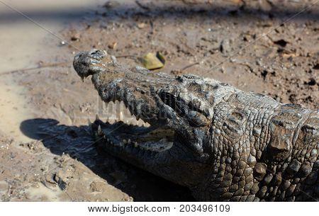 sacred crocodile in Sabou Burkina Faso Africa