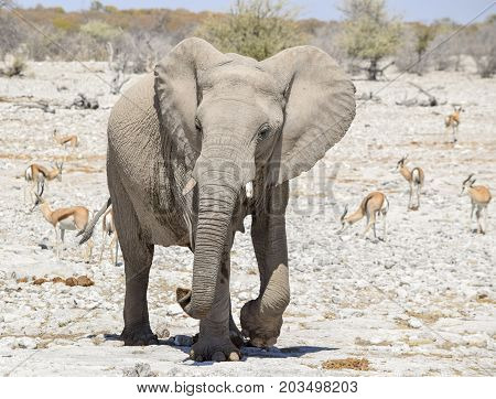 sunny arid savannah scenery including a african bush elephant and some antelopes seen in Namibia