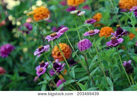 Zinnia garden in full bloom in purple and orange.
