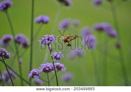 Hummingbird moth at Chateau Cheneceau, Loire Valley, France