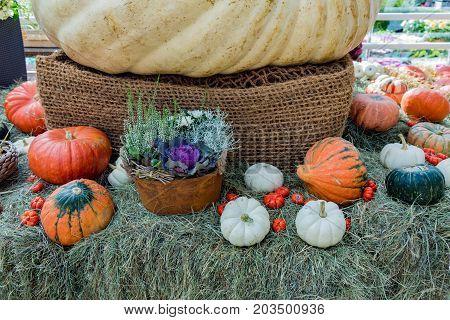 Large Pumpkin Fruit