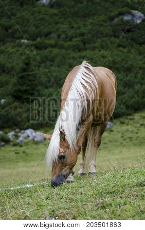 Wild Chestnut Horse, Dolomites, Italy