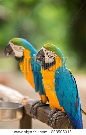 Blue and Yellow Macaw a couple of macaw in the zoo