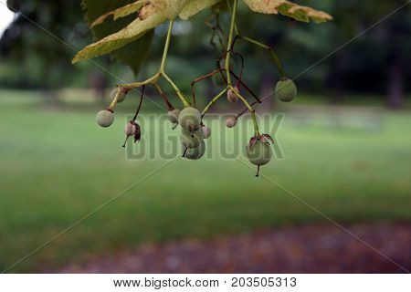 Fruits dangle from an American basswood tree (Tilia americana), also called the American linden, in the Hammel Woods Forest Preserve in Shorewood, Illinois, during July.