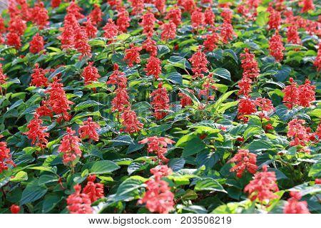 Red Salvia flower bloom in the garden.