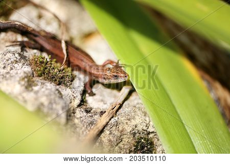 Photo of a funny little lizard basking in the sun