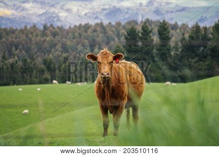 Curious cow in New Zealand's Miller's Flats.