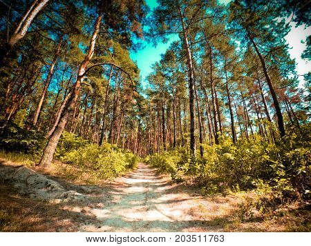 Pine forest sunny day in summer from below wide angle. Natural background