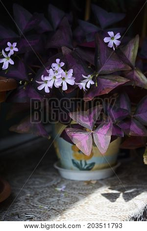 oxalis shamrock purple plant and pink blossom dark background