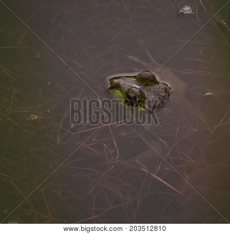 With his head out of the water, a bullfrog lays in a pond