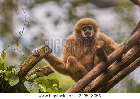 Lar Gibbon Sitting On Branch In Natural Environment
