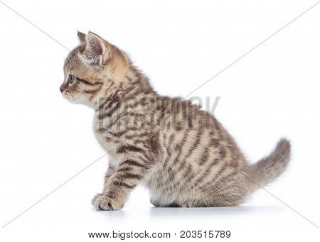 Scottish cat kitten profile side view isolated