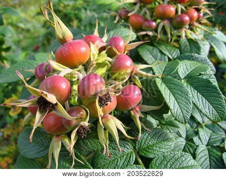 Dog-rose berries. Dog rose fruits (Rosa canina). Wild rosehips in nature.
