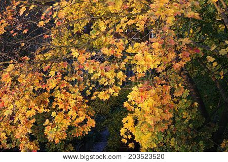 Beautiful bright foliage of autumn maple tree