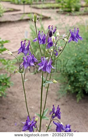 Aquilegia (common names - granny's bonnet or columbine). The leaves of this plant are compound and the flowers contain five sepals five petals and five pistils.