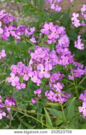 Hesperis matronalis is a herbaceous plant species in the mustard family Brassicaceae. It has numerous common names including dame's rocket damask violet dame's-violetdames-wort dame's gilliflower night-scented gilliflower queen's gilliflower rogue's gilli