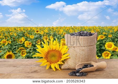 sunflower seeds in burlap sack, fresh sunflower, scoop with seeds on wooden table with natural background. Blooming sunflower field with blue sky. Agriculture and harvest concept