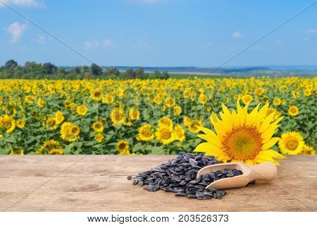 pile of sunflower seeds and fresh sunflower on wooden table with natural background. Blooming sunflower field with blue sky. Agriculture and harvest concept