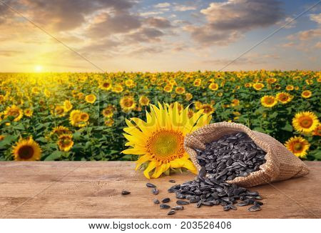 scattered sunflower seeds out of bag and fresh sunflower on wooden table with natural background. Blooming sunflower field on sunset. Agriculture and harvest concept