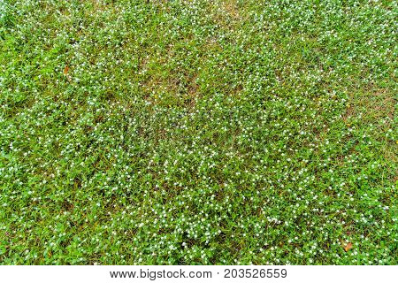 Top View Of Many White Daisies On Green Grass