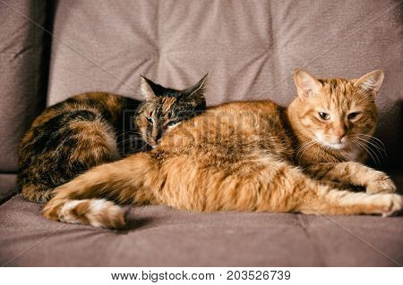 A Pair Of Lovers Cats Lying On The Sofa