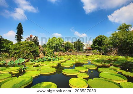 Beautiful garden scenery with lotus flower,santa cruz waterlily flowers and leaves in the pond in summer
