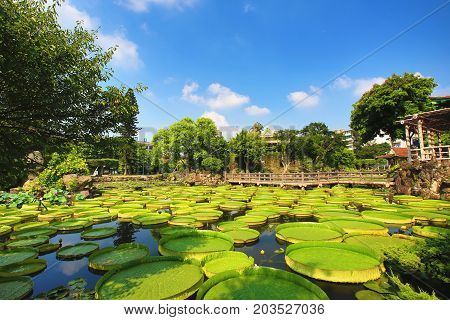 Beautiful garden scenery with lotus flowers,santa cruz waterlily flowers and leaves in the pond in summer