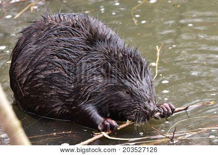 wildshot of european bever in non frozen part of pond in Otrokovice,Czech reoublic