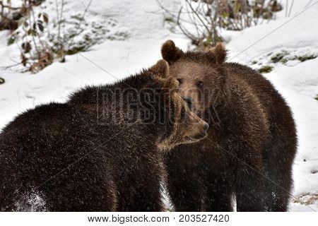 brown bear in nature reserve Bayerische Wald in Germany