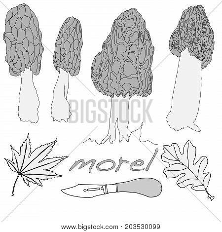 Morel, Yellow Morel, True Morel And Sponge Morel - Edible Mushrooms