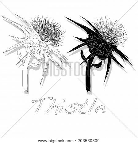 Milk Thistle plant. Scotch thistle set  .